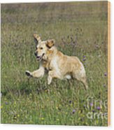 Golden Retriever Running Wood Print