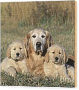 Golden Retriever With Puppies Wood Print
