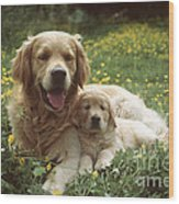 Golden Retrievers Dog And Puppy Wood Print