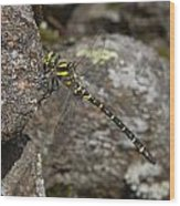 Golden-ringed Dragonfly Wood Print