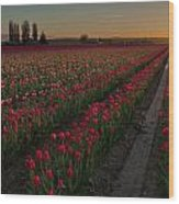 Golden Skagit Tulip Fields Wood Print