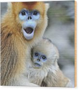 Golden Snub-nosed Monkey And Young China Wood Print