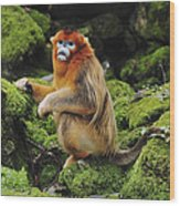 Golden Snub-nosed Monkey Male China Wood Print
