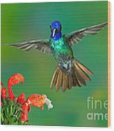 Golden-tailed Sapphire At Flower Wood Print