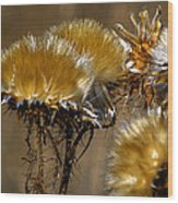 Golden Thistle Wood Print by Bill Gallagher