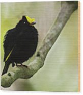Golden-winged Manakin Wood Print