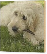 Goldendoodle Pup With Stick Wood Print by Anna Lisa Yoder