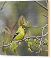 Goldfinch In Spring Wood Print