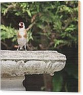 Goldfinch On Birdbath Wood Print