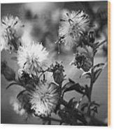 Gone To Seed Wild Aster Wood Print