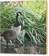 Goose Walking Back In For A Swim Wood Print