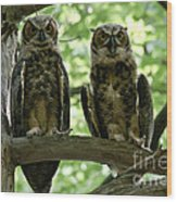 Gorgeous Great Horned Owls Wood Print