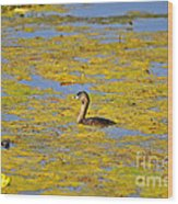 Gorgeous Grebe Wood Print by Al Powell Photography USA
