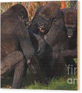 Gorillas Having Fun Together  Wood Print
