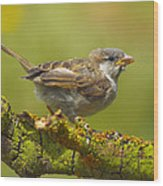 Gorrion House Sparrow Wood Print