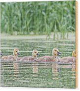 Goslings All In A Row Wood Print