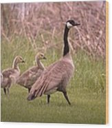 Goslings On A Walk Wood Print