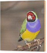 Gouldian Finch Wood Print
