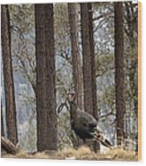 Gould's Wild Turkey IIi Wood Print