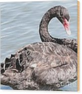 Graceful Black Swan Wood Print
