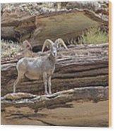 Grand Canyon Big Horn Sheep Wood Print