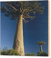 Grandidiers Baobab Trees Madagascar Wood Print