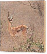 Grant's Gazelle Nanger Granti Wood Print