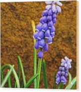 Grape Hyacinth And Sandstone  Wood Print