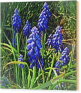 Grape Hyacinths 2014 Wood Print
