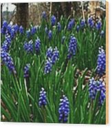 Grape Hyacinths Wood Print by Julie Dant