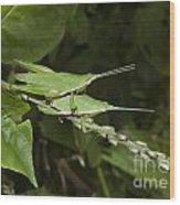 Grasshopper Mating On Grass Leaf Wood Print