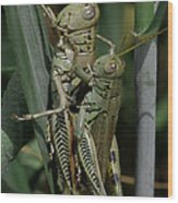 Grasshoppers In Love Wood Print