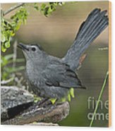 Gray Catbird Drinking Wood Print