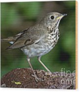 Gray-cheeked Thrush Catharus Minimus Wood Print