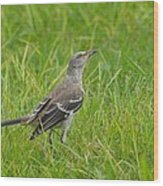 Gray-eyed Catbird II Wood Print
