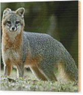 Gray Fox On Alert Wood Print
