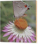 Gray Hairstreak And Straw Flower Wood Print