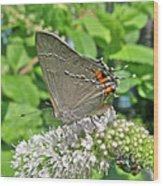 Gray Hairstreak Butterfly - Strymon Melinus Wood Print