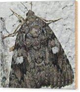 Gray Owlet Moth Wood Print