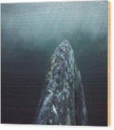 Gray Whale Magdalena Bay Baja California Wood Print