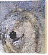 Gray Wolf Canis Lupus Shaking Snow Off Wood Print