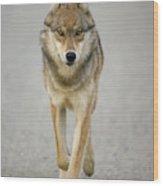 Gray Wolf Denali National Park Alaska Wood Print