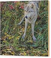 Gray Wolf Drinking Wood Print