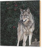 Gray Wolf Endangered Species Wildlife Rescue Wood Print