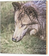 Gray Wolf Grey Wolf Canis Lupus Wood Print