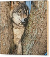 Gray Wolf In Tree Canis Lupus Wood Print