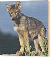 Gray Wolf Pup Montana Wood Print