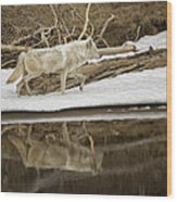 Gray Wolf Reflection Wood Print