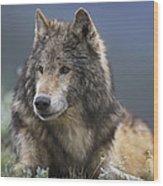 Gray Wolf Resting North America Wood Print