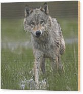 Gray Wolf Walking Through Water Wood Print